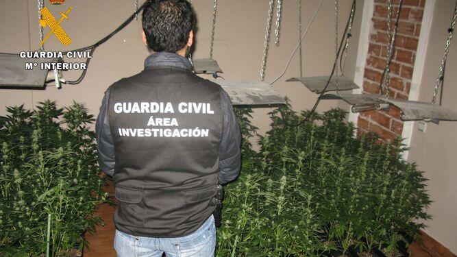Un agente, ante unos plantones de cannabis.