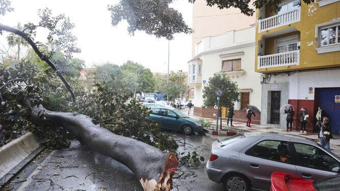 Caída de un árbol en el centro de Málaga.