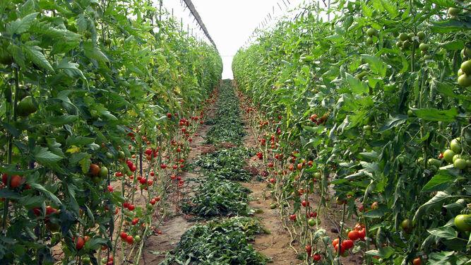 Los cultivos de invernadero de Almería son los que mejor se cotizan.