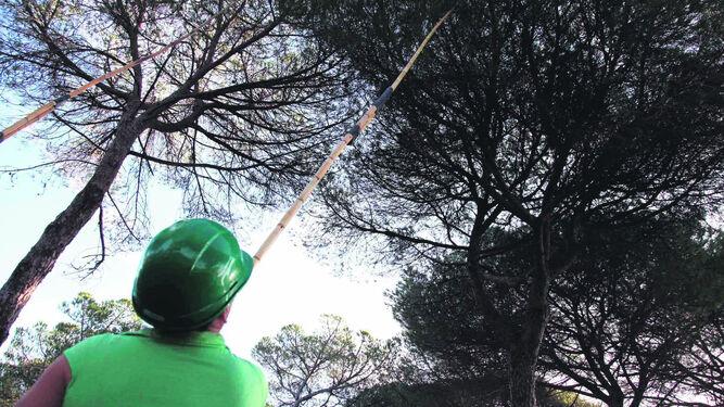 Recogida de pinas