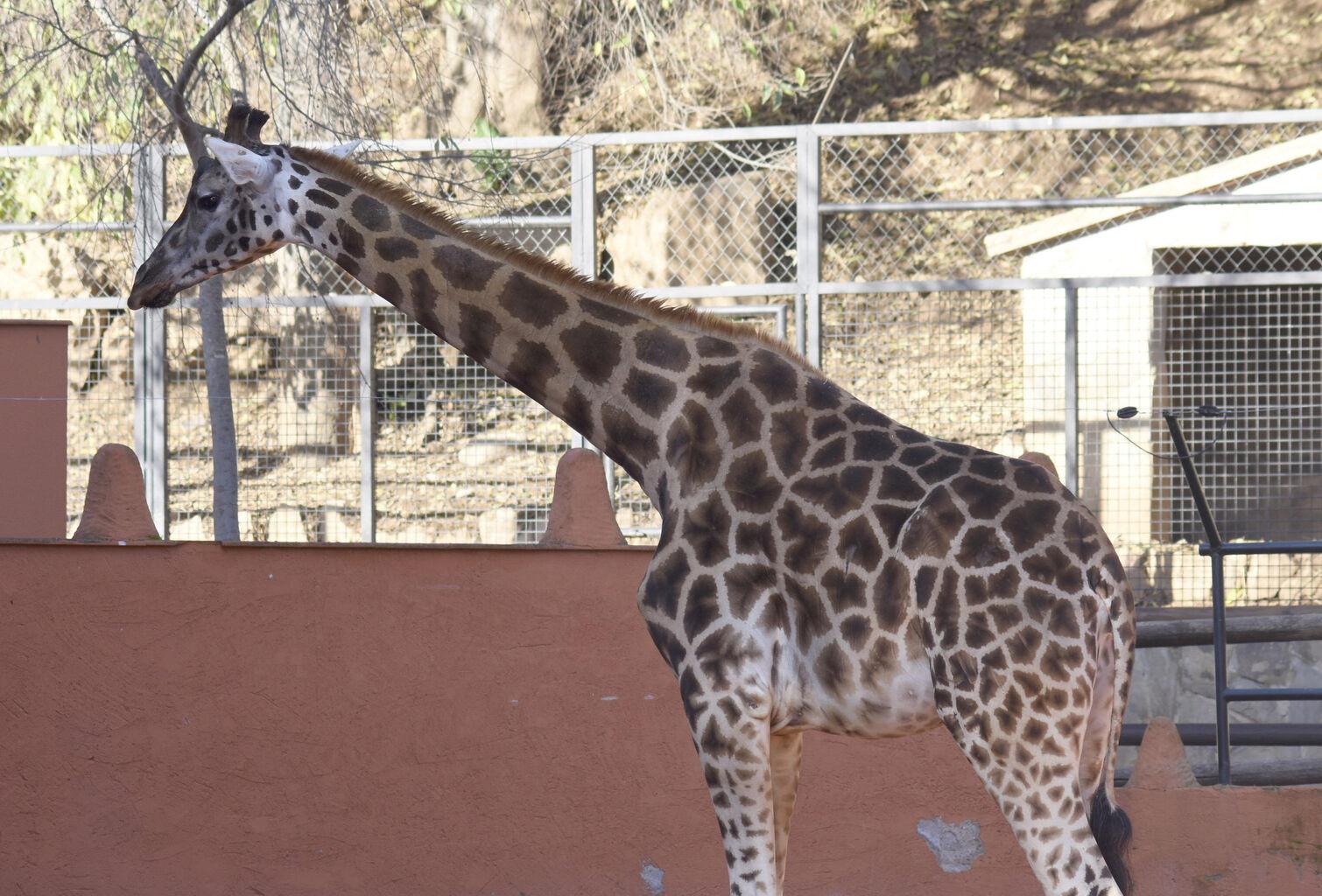 Las jirafas llegan por primera vez al Zoo de Córdoba