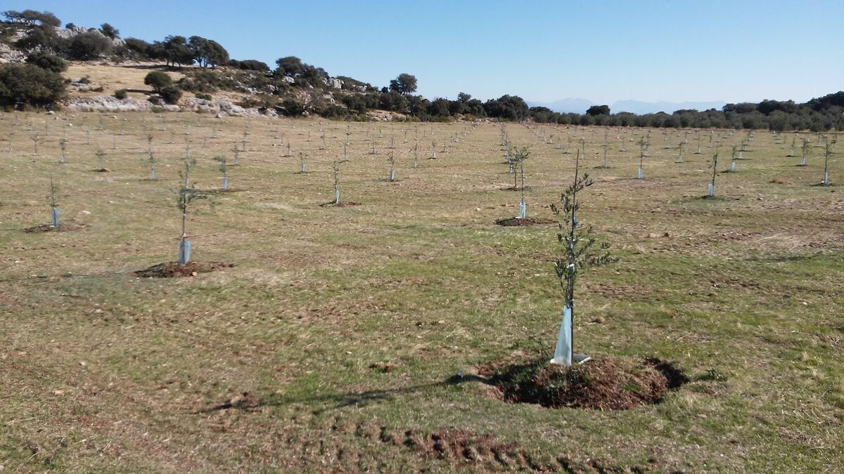 Ecologistas amenaza con llevar a la Fiscalía una plantación de olivos en el Parque Natural de la Subbética