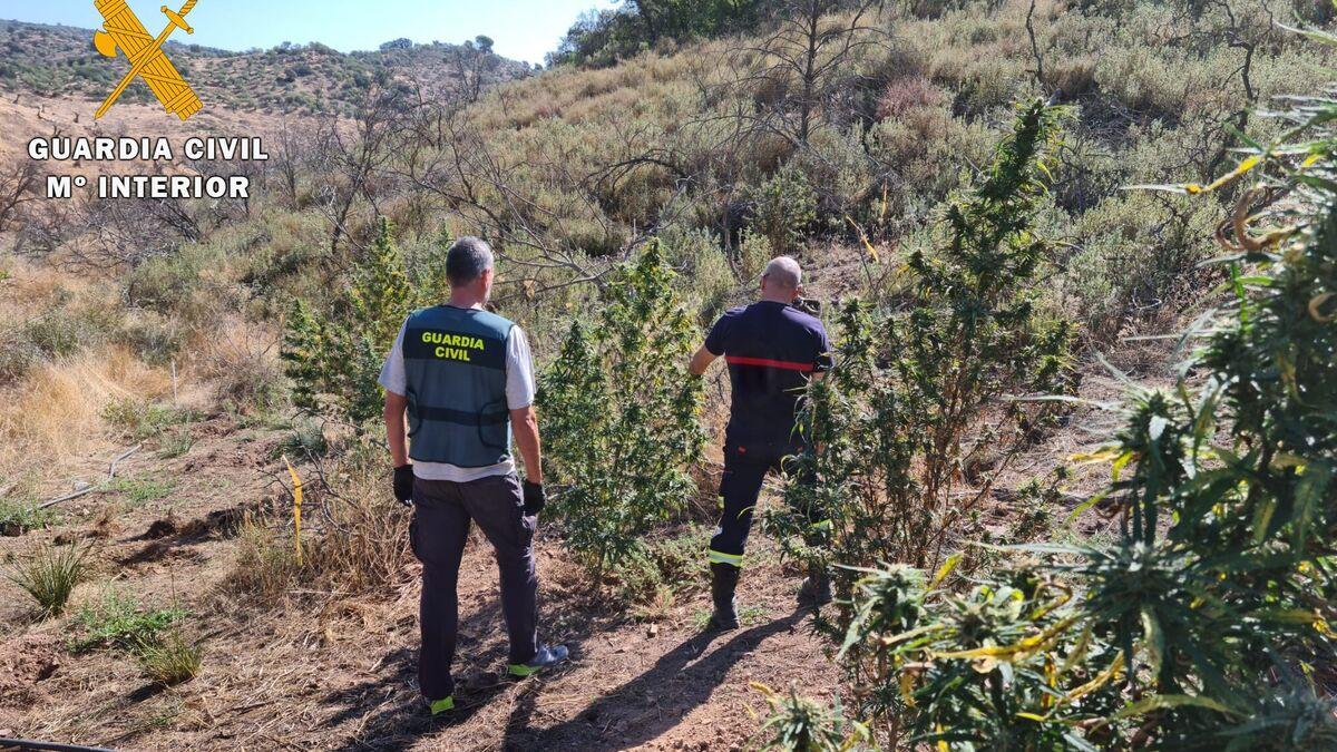 Desmantelada una plantación de marihuana en Montoro que se surtía de agua del pantano del Arenoso